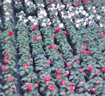 Nys Fleurs - Horticulture