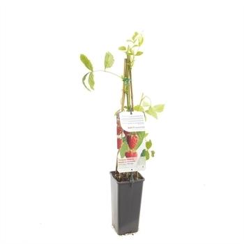 Rubus idaeus Heritage