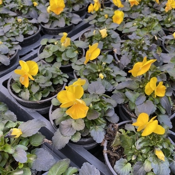 Pensées petite fleur jaune