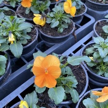 Pensée petite fleur Orange