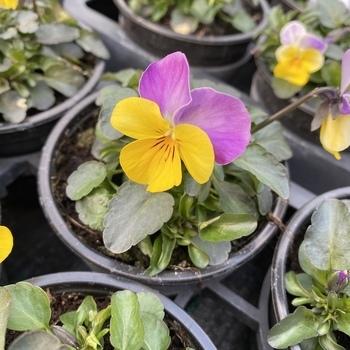 Pensée petite fleur Jaune & Parme