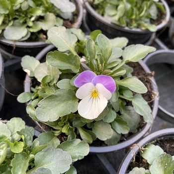 Pensée petite fleur Blanc & Parme