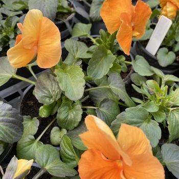 Pensée grosse fleur Orange
