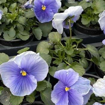 Pensée grosse fleur Bleu