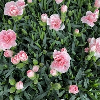 Dianthus Rose
