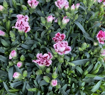 Dianthus Bicolore