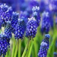 Muscari Bleu